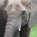 elephant-10