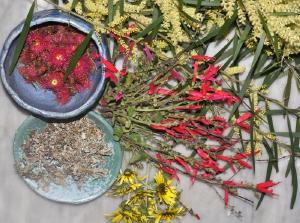 Collecting colourful ingredients: red flowering gum flowers, wattle flowers, pineapple sage flowers, dandelion flowers, lichen