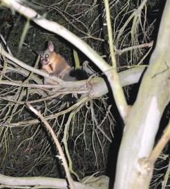 Brushtail possum central victoria