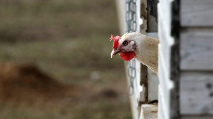 Ein Huhn schaut aus dem Stall. Foto: Bernd Wüstneck/Archiv