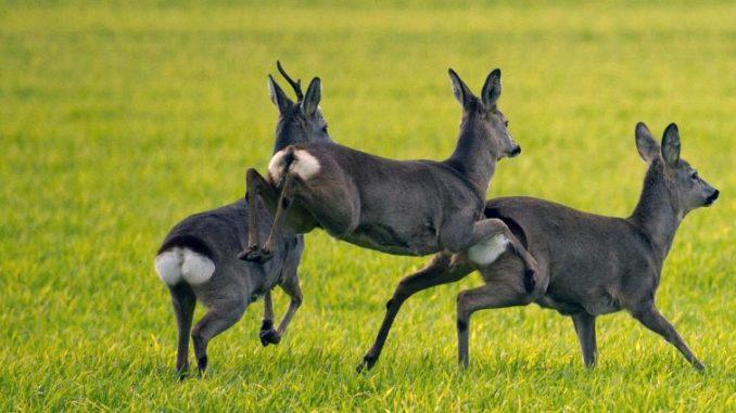 Rehe springen über eine Weide. Foto: Arno Burgi/Archiv