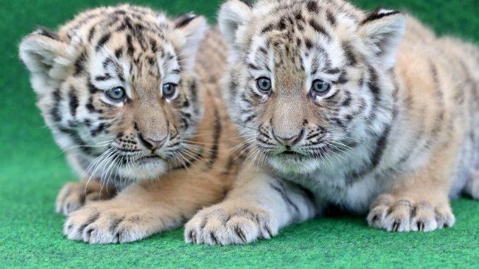Zwei Tigerbabys sitzen vor einem Impftermin im Zoo Leipzig. Foto: Jan Woitas