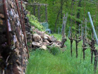 Eingestürztes Trockenmauerwerk ist im Weinberg in Radebeul zu sehen. Foto: Arno Burgi