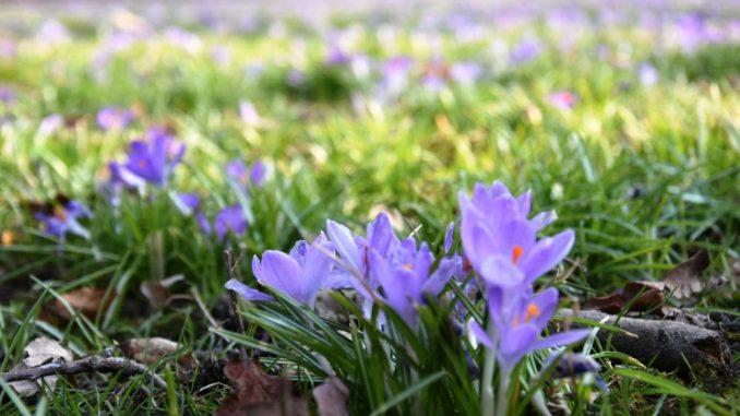 Krokusswiese im Großen Garten, Dresden, Frühlingserwachen (Foto: Juliane Zönnchen)
