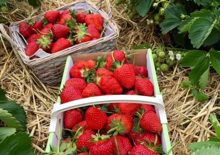Saison 2018 eröffnet: Hier kann man selber Erdbeeren pflücken!