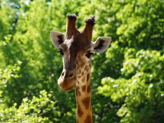 Der Dresdner Zoo widmet den 25. Juni der Giraffe!