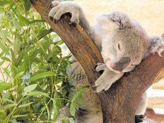 Keine Frage: Der putzige Koala ist bei allen Zoogästen besonders beliebt. Foto: ekg