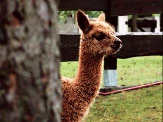 Alpakas sind bei den kleinen Besuchern beliebt. Foto: PR