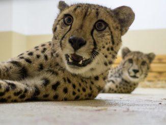 Die beiden Gepardenbrüder Sjef (vorn) und Job. Foto: Zoo Dresden