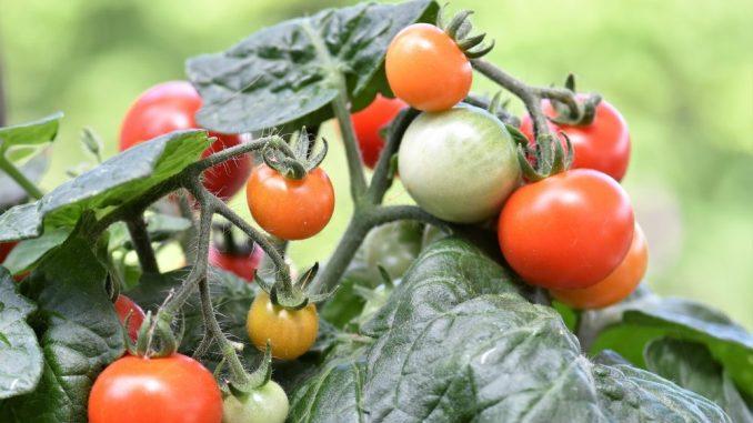 Bei hitzegeschädigten Tomatenpfanzen reifen weniger der leckeren Früchte. Doch wie kann man dem entgegen steuern? (Foto: pixabay)