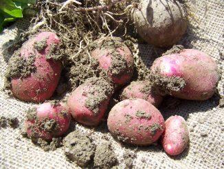 Die Kartoffel ist bei so ziemlich jedermann auf dem Teller beliebt. Und das soll gefeiert werden.