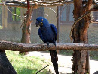 Das Bild zeigt das Hyzinthara-Weibchen im Sommer in seiner Voliere im Zoo Dresden. (Foto: PR)