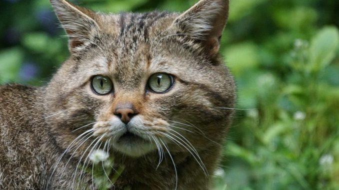 Moritzburger Wildkatzen bekommen gut 500m² großes neues Areal zum Toben, Spielen und Faulenzen. (Foto: Pixabay)