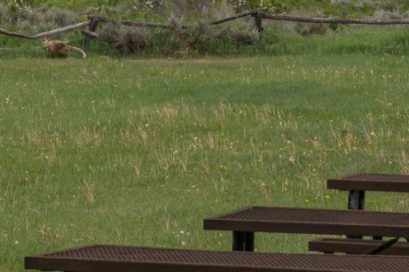 A fox joins us for lunch at Vega Lake