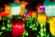 Tulips - Chinese Light Festival
