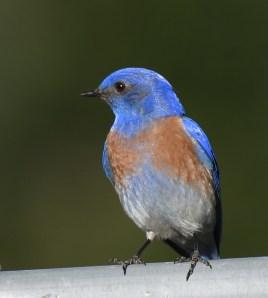 Brendas Blue Bird