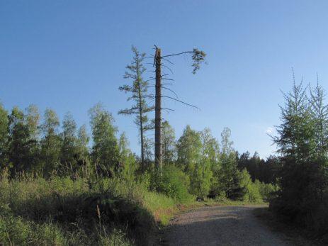 Et levende træ, amputeret af vinden