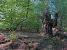 En kæmpestor stub - den må være 2-300 år gammel, måske mere