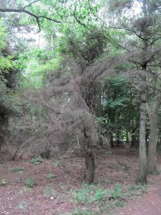 Et dødt træ fangede min opmærksomhed, mens en solsort fangede regnorme