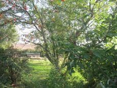 Og heggen her, den er smuk når den blomstrer, men den skal skæres ned og blive til en høj busk