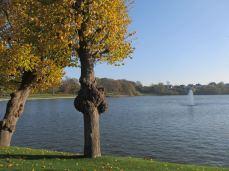 De stynede træer langs bredden af søen er velholdte