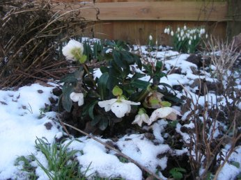 Julerosen blomstrer - vintergækker i baggrunden