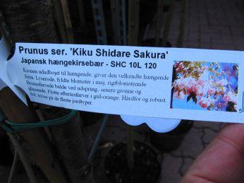 Er japansk kirsebær - de smukke blomster - ikke en invasiv art, som sender sideskud i mængde?