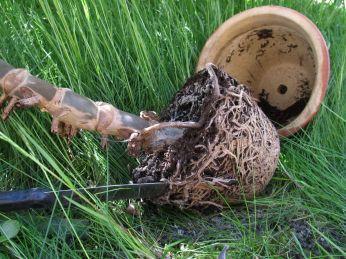 Underdelen skåret fri af potten for at se om den er sund