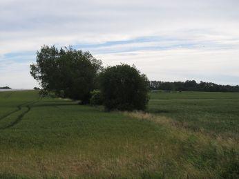 11. Juli: Mindre græsser til venstre (øst) mark, bortset fra hjørnet, forlandet nederst