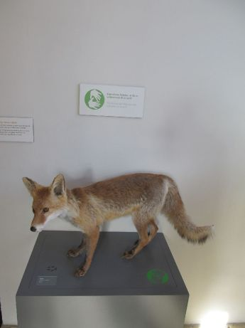 Museet har en ræv som man gerne må klappe