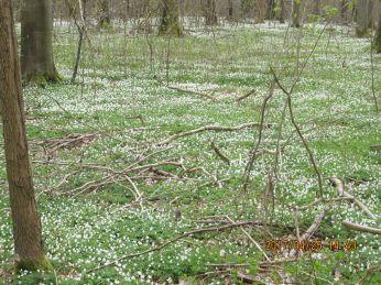 I forgrunden kan man lige se anemonerne som stjerner - længere væk bliver de til et hvidt tæppe