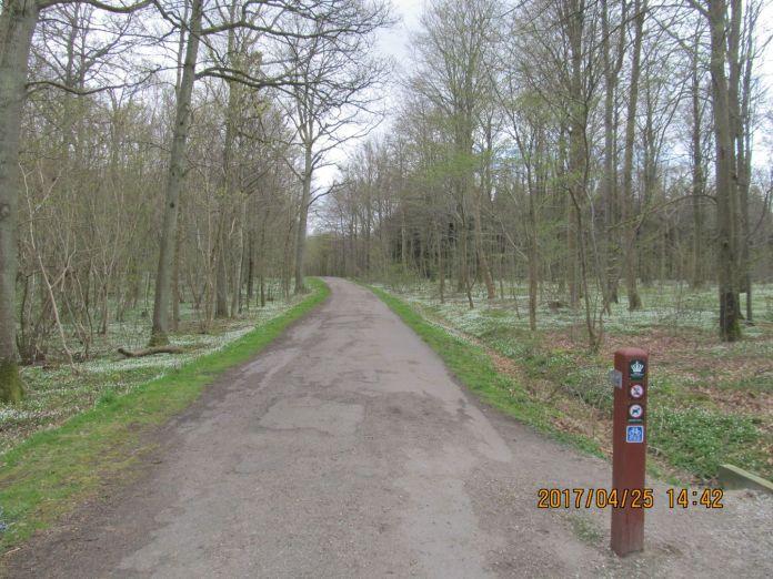 Den gamle landevej er nu blevet til en skovvej med Naturstyrelse-stolpe, - og langs med vejen er der et tæppe af anemoner