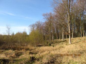 Gribskov er sumpet område med mange lavnnger, der er fulde af vand og med bevoksning af lystræer, pil, el, røn, især birk - her er birketræerne ved at springe ud