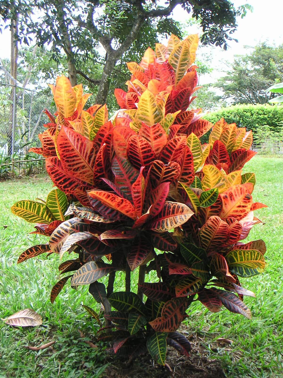 7 Cara Menanam Bunga Puring Agar Cepat Berakar Dan Tumbuh