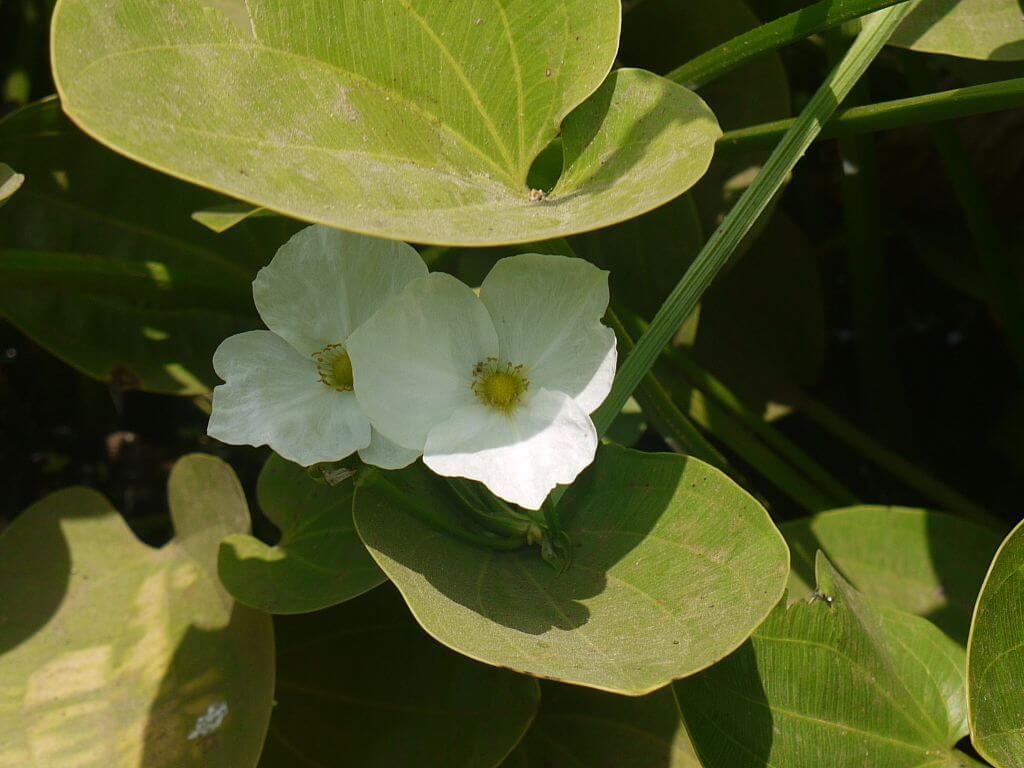 bunga melati air