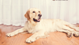 The important life skills we can learn from the Labrador Retriever
