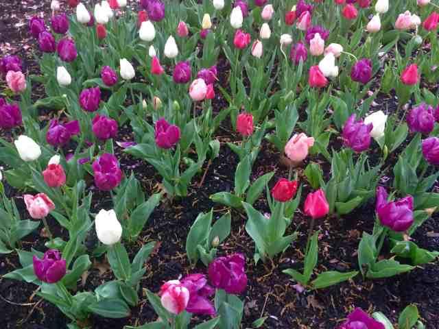 bk-tulips