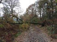 BEFORE | Oak tree over path after heavy winds