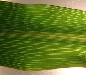 Image of leaf veins