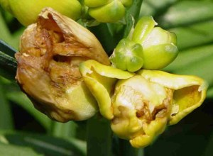 This image shows an affected bud starting to rot.