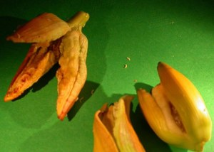 Image shows affected buds and larvae.