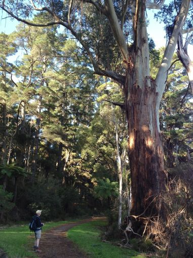 Some of the eucalypts are enormous