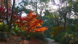 Glowing maple tree