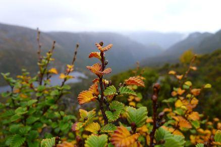 Fagus in autumn