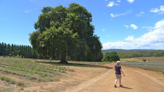 Magnificent ancient oaks