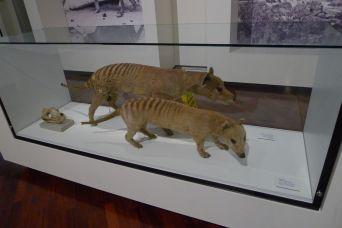 Thylacines aka Tassie Tigers