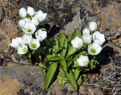 Wild flower on Ben Lomond
