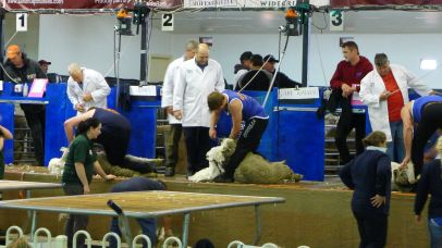 Shearers in action