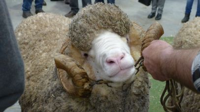 Ram with horns