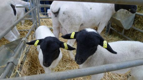 Dorper lambs, I think